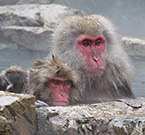 The red-faced macaques in the onsen of Jigokudani Park