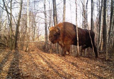 Bisonte europeo, campagna di Chernobyl