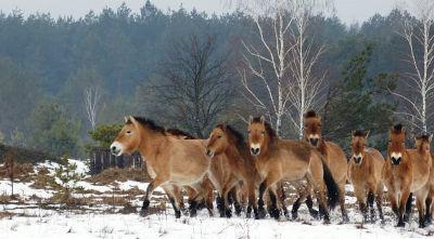 Cavalli di Przewalski, liberi nei dintorni di Chernobyl