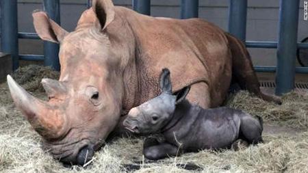Rinoceronte bianco in cattività