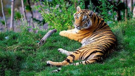 Esemplare di tigre del Bengala, una delle specie ad altissimo rischio di estinzione
